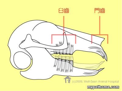 (转载) 图解>兔子的牙齿 (附有动图,立体地解释牧草的