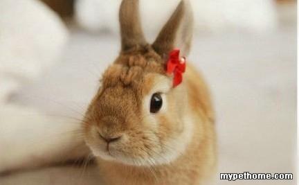 网络上的一只萌兔apollo-小兔之家