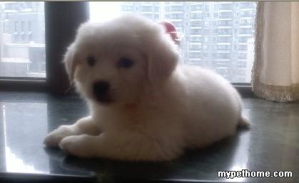 非常可爱的小白狗找爱狗的人家
