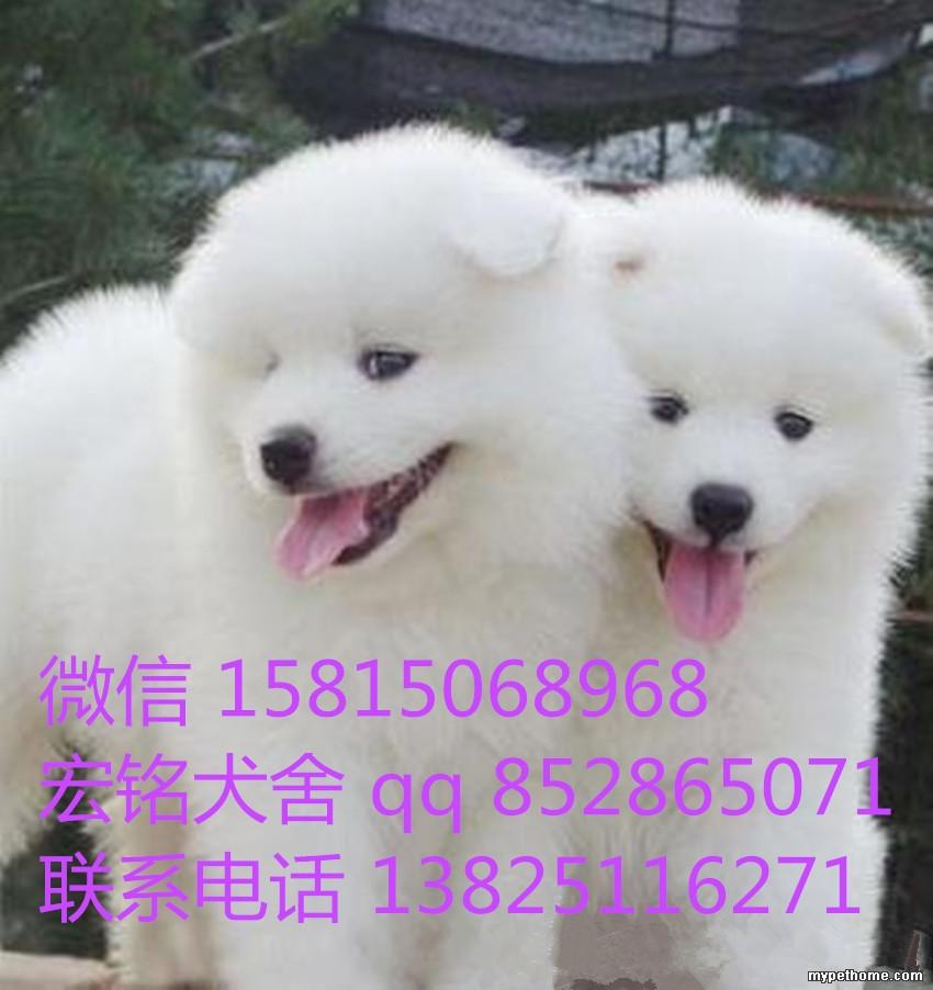 广州哪里有纯种萨摩耶萨摩耶报价一只多少钱 宠物集市