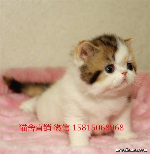 东莞哪有卖可爱的加菲猫,价格多少
