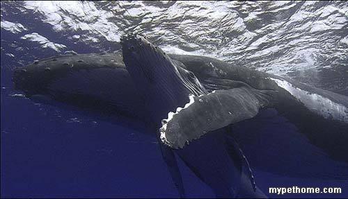 鲸鱼保护幼子感人镜头图片