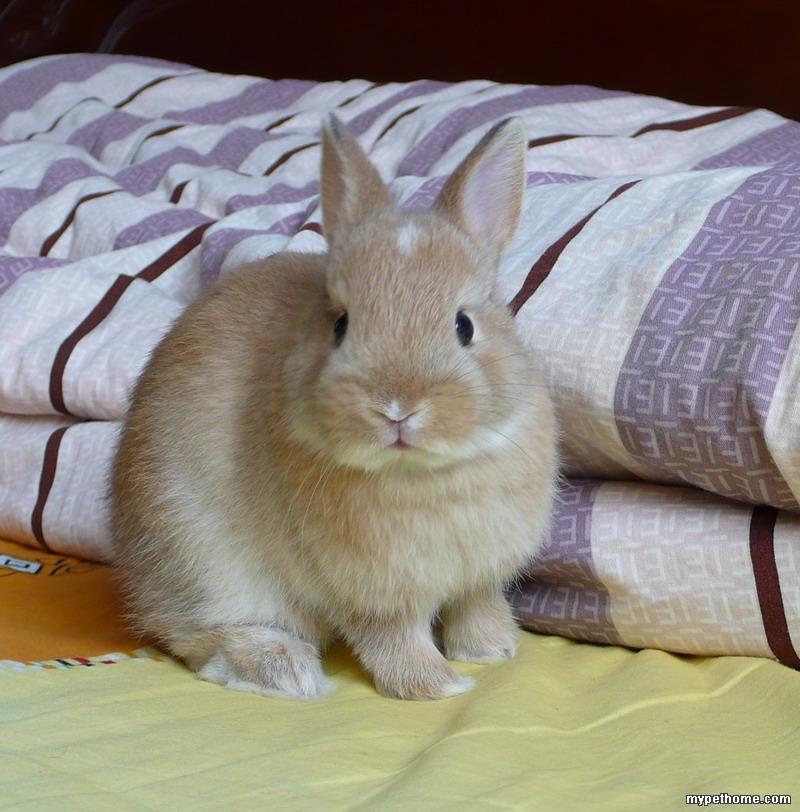 北京两只活泼可爱的小侏儒兔等待领养