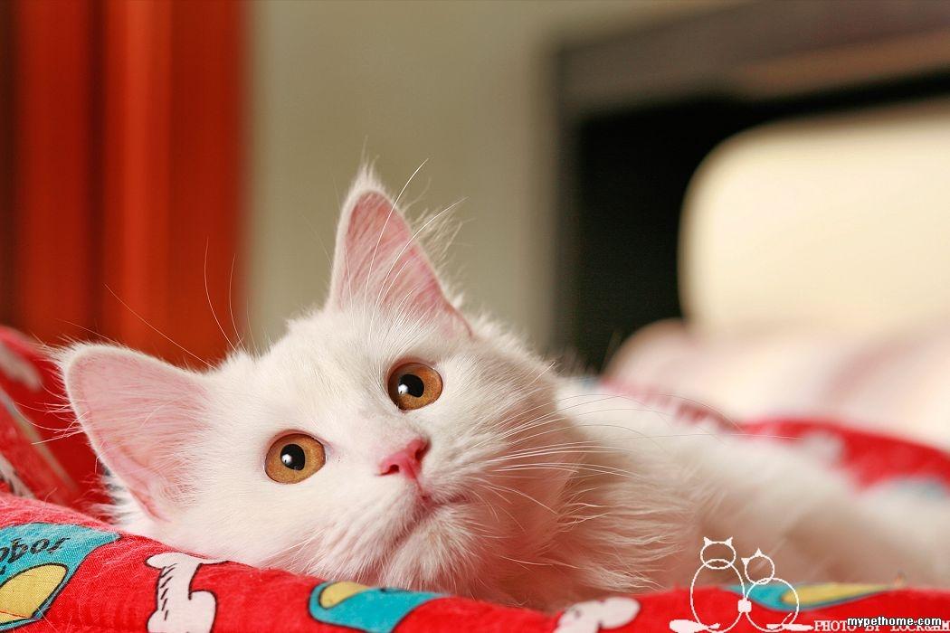 壁纸 动物 猫 猫咪 小猫 桌面 1050_700