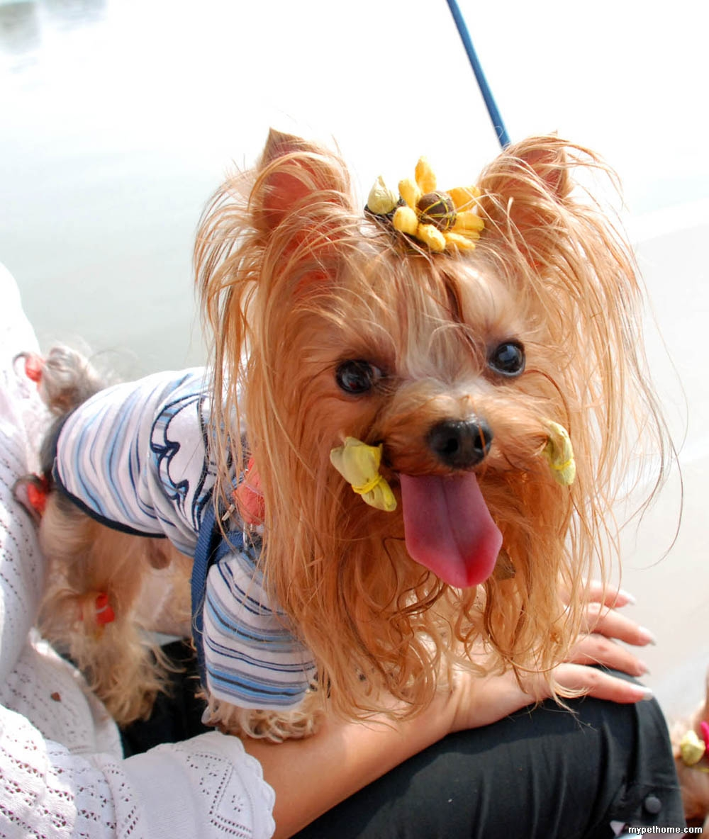 长的好像 作者: peggi 时间: 2009-1-11 20:41 标题: 桑葚与我 主人姓名:Peggi 爱犬名字:桑葚儿 您的愿望:找一个比爸爸还帅的男朋友当老公,在海边举行一个浪漫的狗狗婚礼:)这样我算我爸爸妈妈不在家陪我的时候也不会再孤独了。 照片上传:   作者: peggi 时间: 2009-1-11 20:42 标题: 继续继续  作者: jessieWU 时间: 2009-1-12 10:54 顶顶 作者: guoxiao2007 时间: 2009-1-13 14:53 标题: 一休妈妈