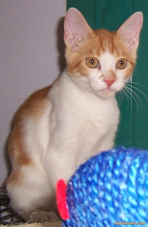 超级可爱的包子脸黄白猫找家啦-小猫之家