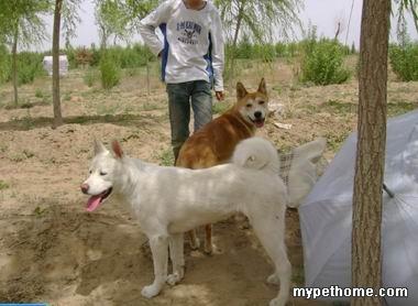 韩国珍岛犬出售专区