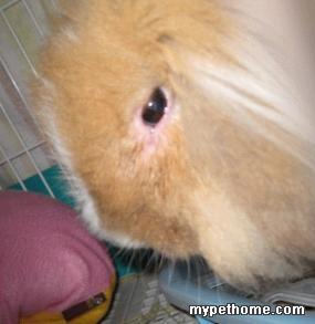 小黄鼻子边脓包发展治疗始末(病因比较特别,鉴于有些兔妈的误会,特别