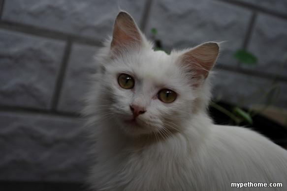 露西,超可爱的小白猫,寻找新爸爸妈妈