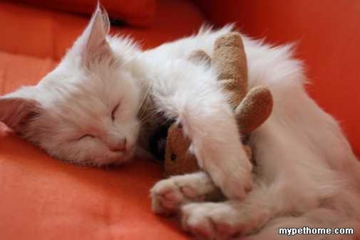 我真的很爱我的小露西。但是因为要离开北京了,所以想给它找个新妈妈(或者爸爸^_^)。小猫是纯白的,健康干净,活泼可爱,非常非常听话,4个月左右大,最喜欢做的事情是粘着主人,喜欢主人陪它一起玩,喜欢被胡噜胡噜,喜欢和花花草草对话,喜欢躺在主人脚边陪着一起学习看书.