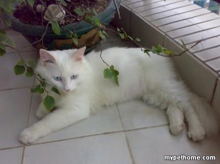 [已领养]可爱白猫~寻找领养