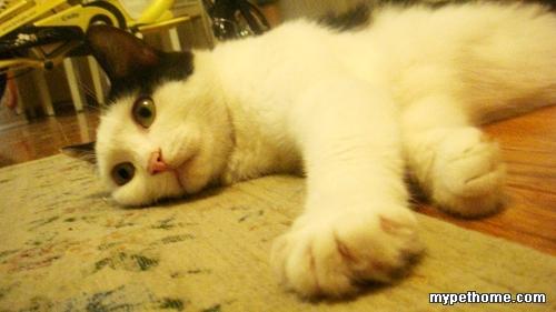 最可爱的一岁小猫领养
