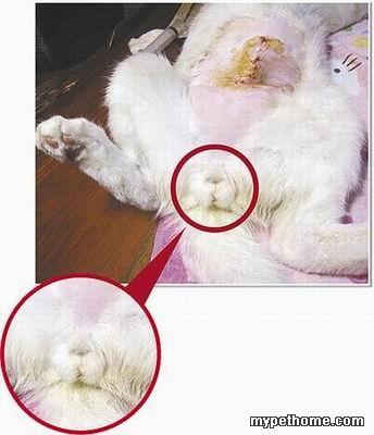公猫生理结构图