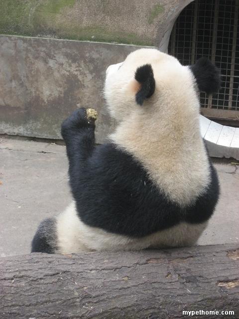 熊猫背影图 简笔画