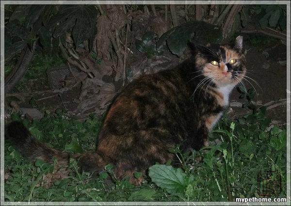 四、喂的方法 不同的猫咪有不同的觅食时间,胆大的会白天出来,胆小的尤其是幼猫多半是等天黑才出来。晚上是猫咪活动的时间,它们更愿意在清晨睡觉前再吃些东西。如果定时喂食,这类猫往往吃不到东西。所以我分两种方法喂,全天供应和定时喂食。冬天猫粮消耗得厉害时,我还常半夜下楼再加些猫粮。定点喂食很重要,傻猫非常多,嗅觉远不如狗那么灵。如果它们认准投食地点后,食物稍一移地方,它们就找不到。 普通的猫粮因为价格便宜,可以保持24小时供应,猫咪随到随吃,如果夏天时被蚂蚁爬、突然下雨淋湿可以倒掉换新鲜的。遇到不良邻居偷拿或者