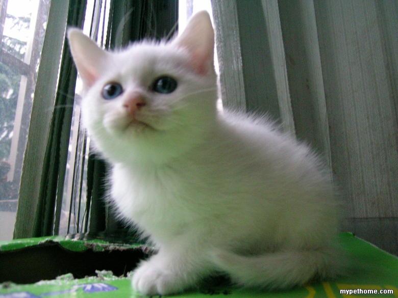 【领养贴】给超可爱长着蓝眼睛和鸳鸯眼的一对小白猫