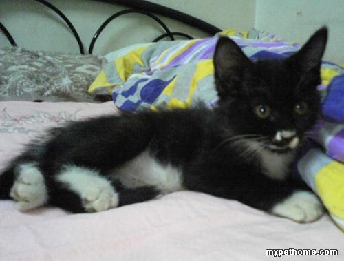 北京可爱小黑猫找领养(2个月大)