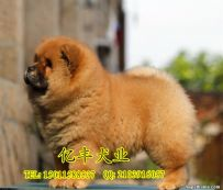 双血统松狮幼犬多少钱 纯种松狮哪里有 亿丰犬舍直销
