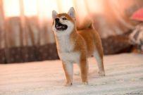 出售纯种柴犬 赛级柴犬哪里有 亿丰犬舍直销柴犬
