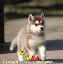赛级哈士奇幼犬多少钱 纯种哈士奇价格 京博犬舍
