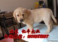 出售纯种拉布拉多 纯种拉布拉多幼犬多少钱 亿丰犬舍