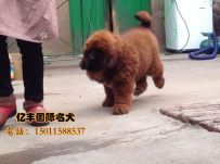 北京直销藏獒 赛系藏獒幼犬出售 北京亿丰犬舍出售