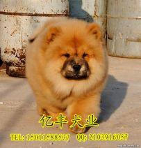 出售纯种松狮 赛级松狮幼犬多少钱 亿丰犬舍直销