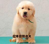 北京亿丰犬舍直销金毛 赛系金毛幼犬出售 北京亿丰犬舍出售 可送货