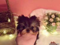北京纯种约克夏 约克夏多少钱 纯种约克夏幼犬价格
