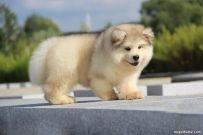 出售纯种阿拉斯加 纯种阿拉斯加幼犬多少钱 亿丰犬舍直销