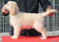 出售纯种金毛 赛级金毛哪里有 亿丰犬舍直销