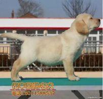 出售纯种拉布拉多 赛级拉布拉多哪里有 亿丰犬舍直销