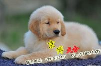 纯种金毛出售 大头金毛幼犬多少钱 京博犬舍
