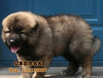 赛级高加索幼犬多少钱 纯种高加索哪里有