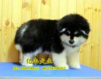 出售纯种阿拉斯加 赛系阿拉斯加幼犬出售
