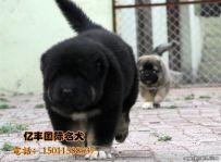 巨型熊版高加索幼犬多少钱 纯种高加索哪里有 亿丰犬舍