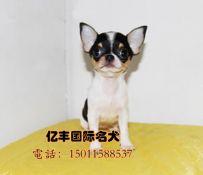 出售双血统吉娃娃 赛系吉娃娃幼犬出售 北京亿丰犬舍出售