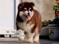 北京哪有巨型阿拉斯加幼犬出售 三个月阿拉斯加价格
