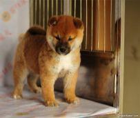 纯种日系柴犬 三个月小柴犬多少钱 北京哪卖柴犬幼犬