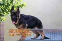 出售纯种德牧 赛系德牧幼犬出售 可送货