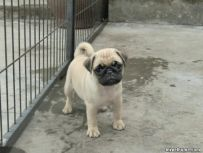 出售纯种巴哥 纯种巴哥幼犬多少钱 亿丰犬舍