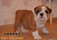 出售纯种英牛 赛级英牛幼犬多少钱 保纯种保健康