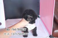 北京哪里买到健康的泰迪幼犬 泰迪幼犬多少钱 哪里卖泰迪