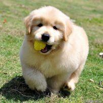 双血统金毛幼犬多少钱 纯种金毛哪里有 亿丰犬舍直销