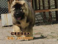 北京亿丰犬舍直销高加索 赛系高加索幼犬 亿丰犬舍出售