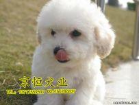 北京哪里卖比熊犬 赛级比熊犬 纯种比熊幼犬