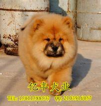 出售纯种松狮 赛系松狮价格 北京亿丰犬舍出售