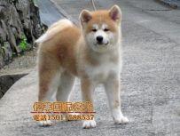北京亿丰犬舍直销秋田 赛系秋田幼犬出售 纯种秋田幼犬出售