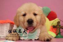 秦皇岛哪里卖纯种金毛犬