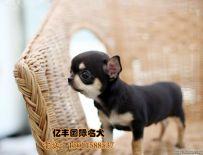 双血统吉娃娃幼犬多少钱 纯种吉娃娃幼犬 保纯种保健康